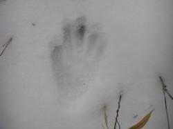 雪山の熊の足跡
