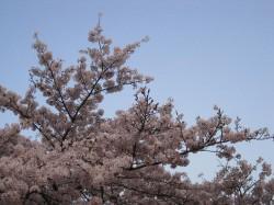 2010.津田公園 桜 ②
