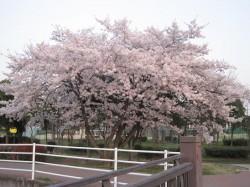 2010.津田公園 桜 ①