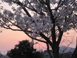 2010.津田公園 桜 ③