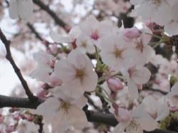 2010.津田公園 桜 ⑥