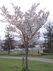 2010.津田公園 桜 ⑤